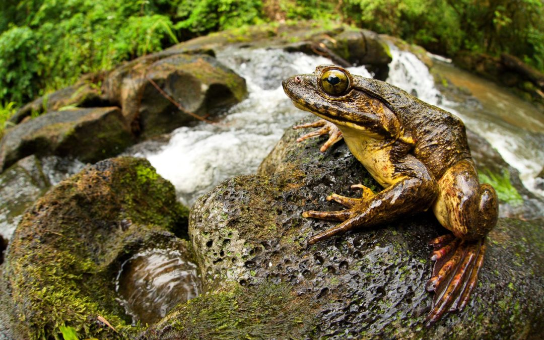 Finding Frogs in Cameroon