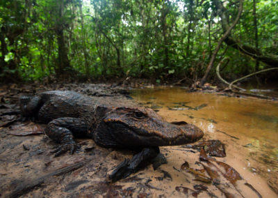 Mysterious Crocodile of the Congo